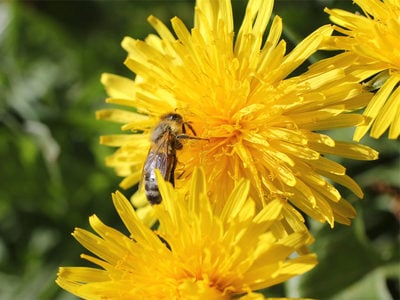Amarognola, sana e stuzzicante: l'erba selvatica