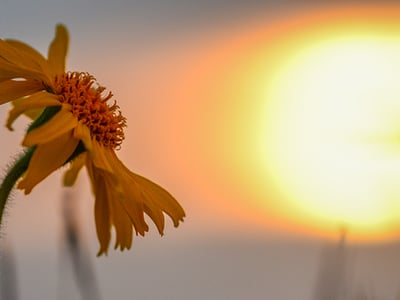 Arnica and Edelweiss - medical plants of the Dolomites