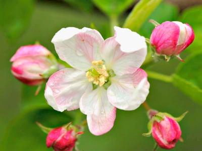 A Merano lo spettacolo dei meli in fiore ha già iniziato