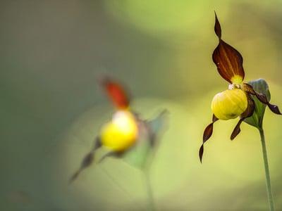 Zauberhafte Orchideen der Dolomiten auf der Seiser Alm