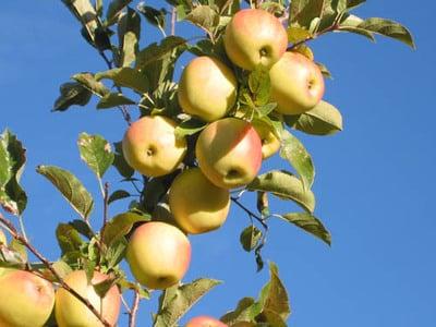 Apfelernte im Vinschgau