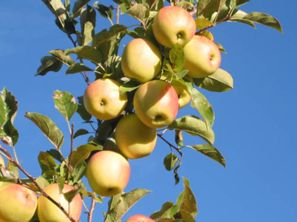 The apples of Venosta Valley