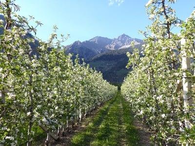 Belissimo spettacolo della natura - La fioritura delle mele
