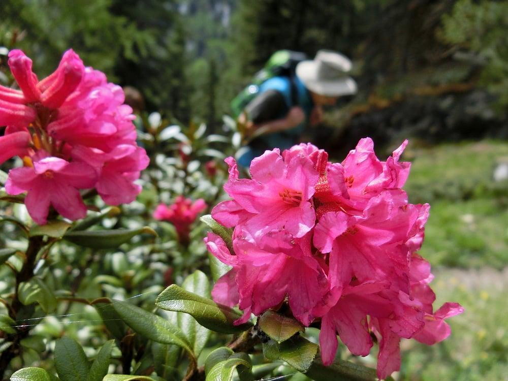 Die ersten Almrosen blühen...