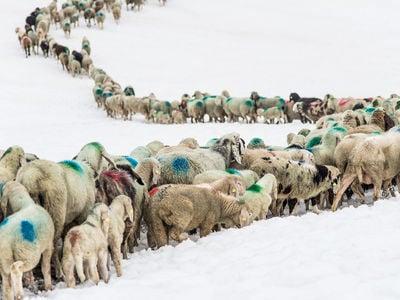 Rietro delle pecore in Val Senales