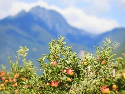 Wandern inmitten der Apfelwiesen