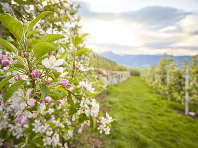 Meraner Apfelblüte
