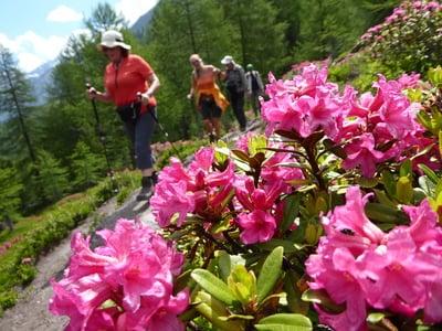 La fioritura della rosa alpina - bellissimo spettacolo naturale