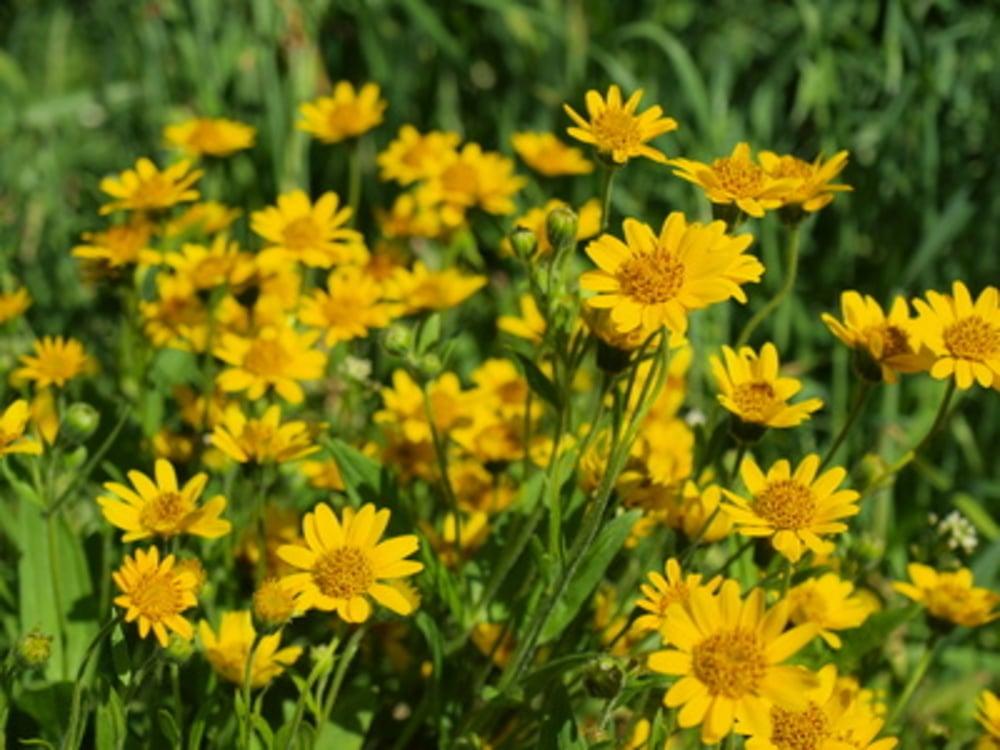 Arnika-eine universale Heilpflanze