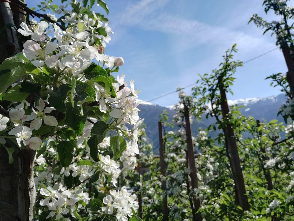 Apfelblüte im Meranerland