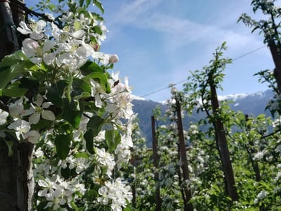 Cowntown...apple blossom in Merano