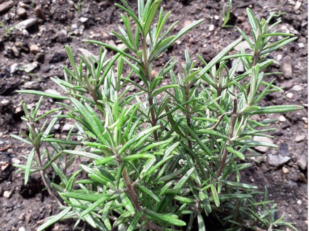 Rosemary sorbet
