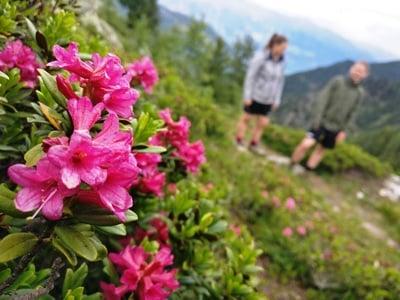 Tempo del rododenro (la rosa delle Alpi)