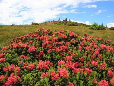 Ricarica le batterie tra rose alpine