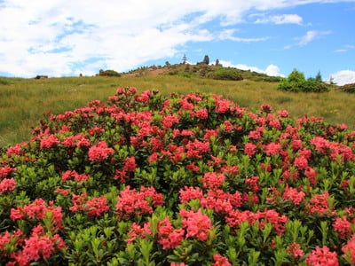 Recharge your batteries between the alpine roses