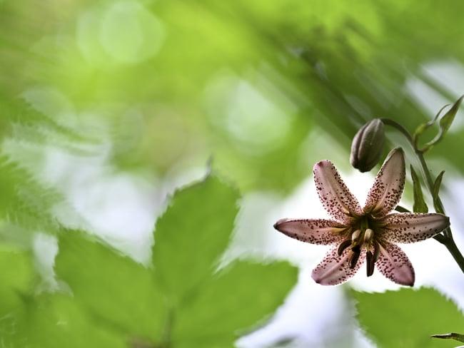 Dea delle piante delle Dolomiti