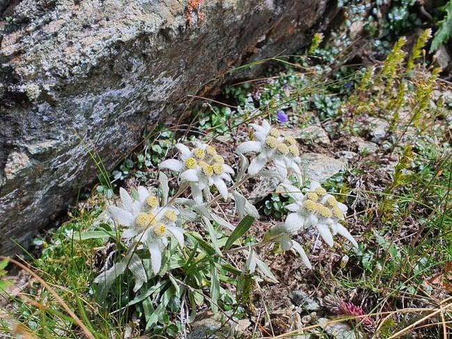 Il fiore della stella alpina rappresenta il coraggio, l'audacia e l'amore