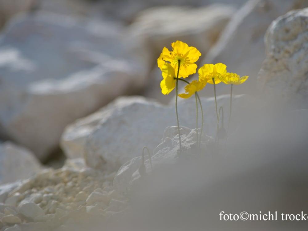 Alpine flowers of the Dolomites