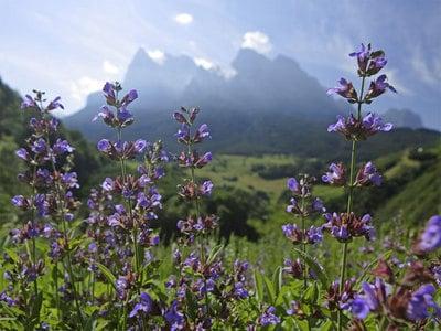 It's Wild Herb Season at South Tyrol Vitalpina Hotels