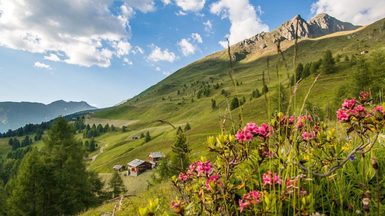 Alpine rose weeks in the Gsiesertal valley