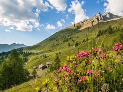 Alpine rose weeks in the Gsiesertal valley