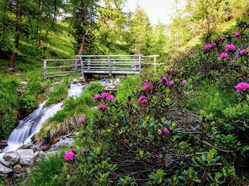 Nature pleasure at the Alpine pasture rose time