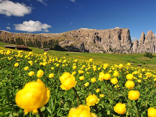 The marvelous sea of flowers of Alpe di Siusi